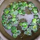 물동전5뿌리 워터코인 수생식물 실내화분  미니정원