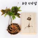 전남 화순 김석환님의 8-10년근 산양삼 5뿌리 장뇌삼